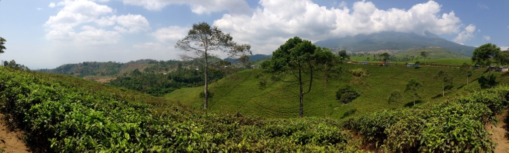 Tea plantation, Mt Lawu, Karanganyar, Indonesia